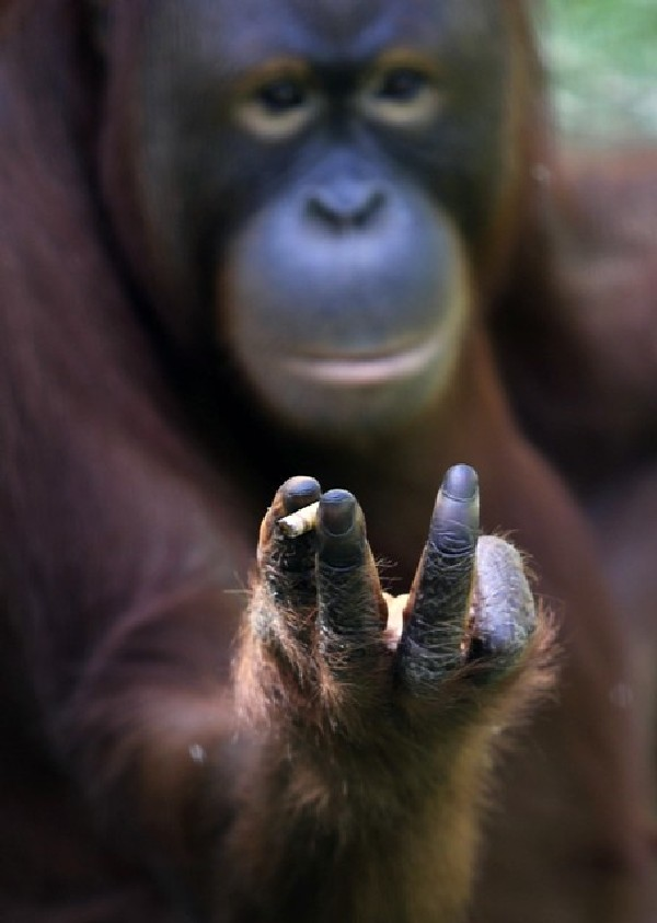 Orang-utan must stop smoking!